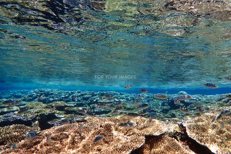 サンゴ礁の海の中の写真素材 [FYI01237970]
