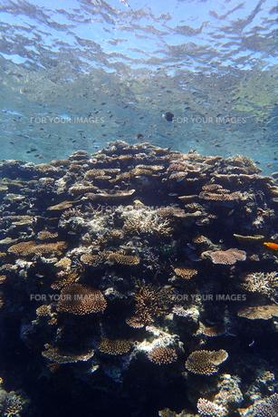 サンゴ礁の海の中の写真素材 [FYI01237971]
