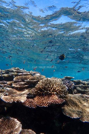 サンゴ礁の海の中の写真素材 [FYI01237973]