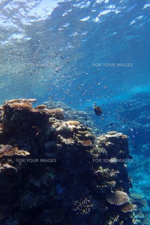 サンゴ礁の海の中の写真素材 [FYI01237974]