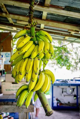 ハワイのバナナの写真素材 [FYI01237987]
