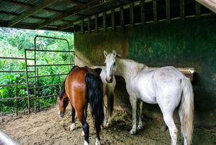 ワイピオ渓谷の馬の写真素材 [FYI01237994]