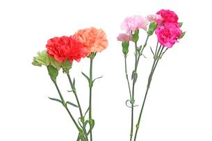 カーネーションの花束の写真素材 [FYI01238068]