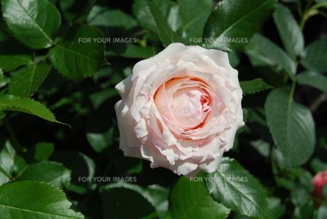 薔薇の写真素材 [FYI01238086]