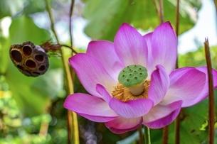 初盆の日の蓮の花の写真素材 [FYI01238128]
