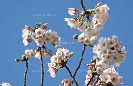 青空に映える桜の写真素材 [FYI01238131]