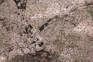 ソメイヨシノの写真素材 [FYI01238357]