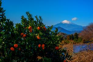 富士山とミカンの写真素材 [FYI01238379]