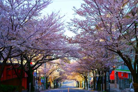 桜 鷺沼の写真素材 [FYI01238381]