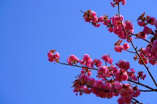 八重桜の写真素材 [FYI01238391]