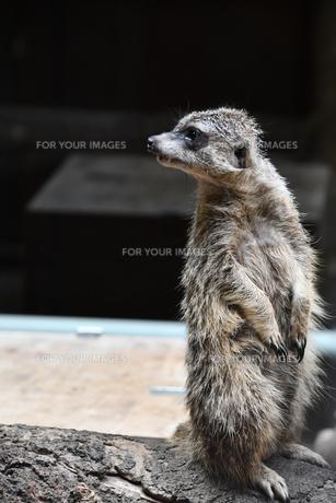 可愛いミーアキャットの写真素材 [FYI01238445]