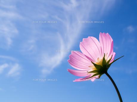 青空とコスモスの写真素材 [FYI01238457]