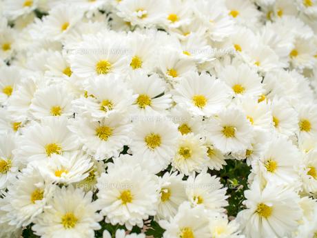 白い小菊の写真素材 [FYI01238461]