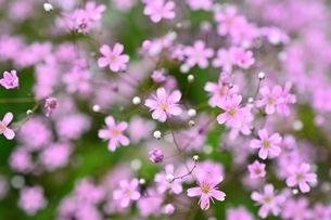 小さなピンク色の花達の写真素材 [FYI01238575]