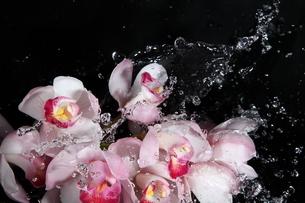シンビジウムと水飛沫の写真素材 [FYI01238647]