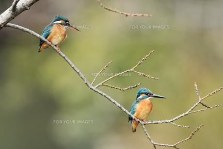 カワセミのカップルの写真素材 [FYI01238901]