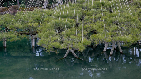 兼六園の松の写真素材 [FYI01238955]