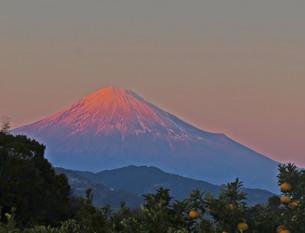 ピンクオレンジ色の夕陽とみかんの木に包まれた富士山の写真素材 [FYI01238960]