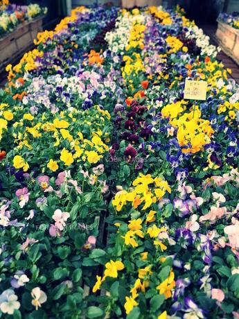 花の写真素材 [FYI01238964]