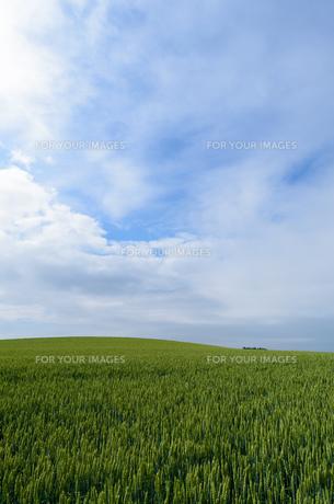 麦畑の写真素材 [FYI01239262]