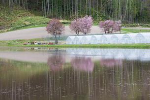水に映る満開のサクラの写真素材 [FYI01239274]