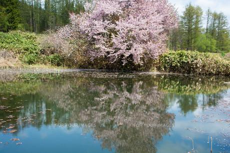 水に映る満開のサクラの写真素材 [FYI01239290]