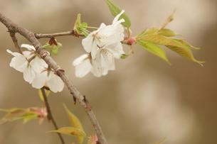 仙台枝垂れ桜の写真素材 [FYI01239430]