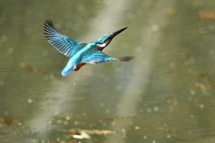 カワセミの飛翔の写真素材 [FYI01239555]