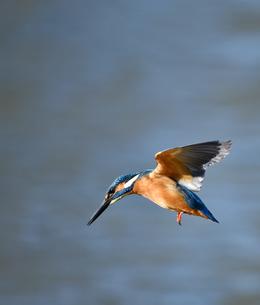 カワセミの飛翔の写真素材 [FYI01239556]
