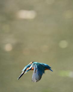 カワセミの飛翔の写真素材 [FYI01239557]