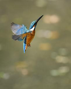 カワセミの飛翔の写真素材 [FYI01239559]