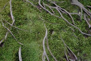 木の根の写真素材 [FYI01239565]