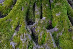 木の根の写真素材 [FYI01239566]
