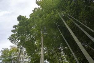 見上げる空と竹の写真素材 [FYI01239607]