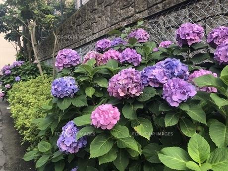 紫陽花の写真素材 [FYI01239611]