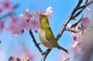 河津桜のメジロの写真素材 [FYI01239625]