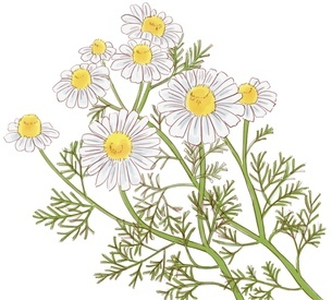 カモミールの花のイラスト素材 [FYI01239657]