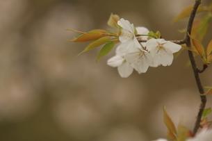 仙台枝垂れ桜の写真素材 [FYI01239809]