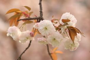 普賢象桜の写真素材 [FYI01239825]