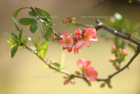 木瓜の花の写真素材 [FYI01239827]