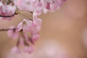 神代曙桜の写真素材 [FYI01239828]