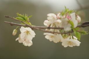 仙台枝垂れ桜の写真素材 [FYI01239830]