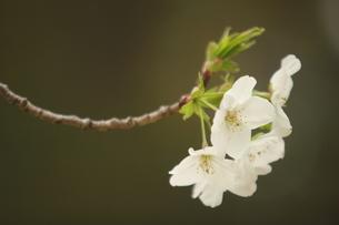 仙台枝垂れ桜の写真素材 [FYI01239831]