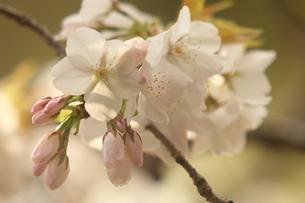 仙台枝垂れ桜の写真素材 [FYI01239836]