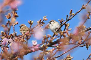 河津桜の雀の写真素材 [FYI01239858]