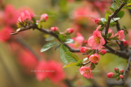 木瓜の花の写真素材 [FYI01239874]
