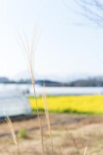 猫じゃらしと田園風景の写真素材 [FYI01240056]