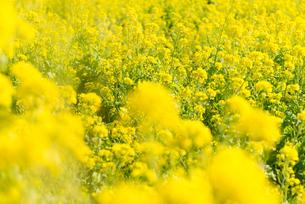 菜の花畑の写真素材 [FYI01240219]