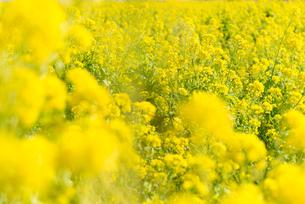 菜の花畑の写真素材 [FYI01240220]