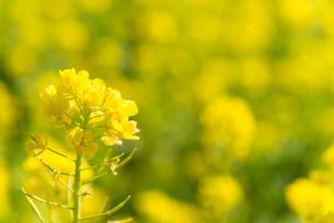 菜の花畑の写真素材 [FYI01240221]